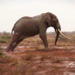 elefante ferito