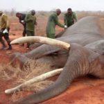 elefante ferito 4