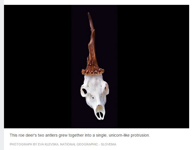 Il cranio dell'unicorno trovato in Slovenia (fonte: news.nationalgeographic.com)