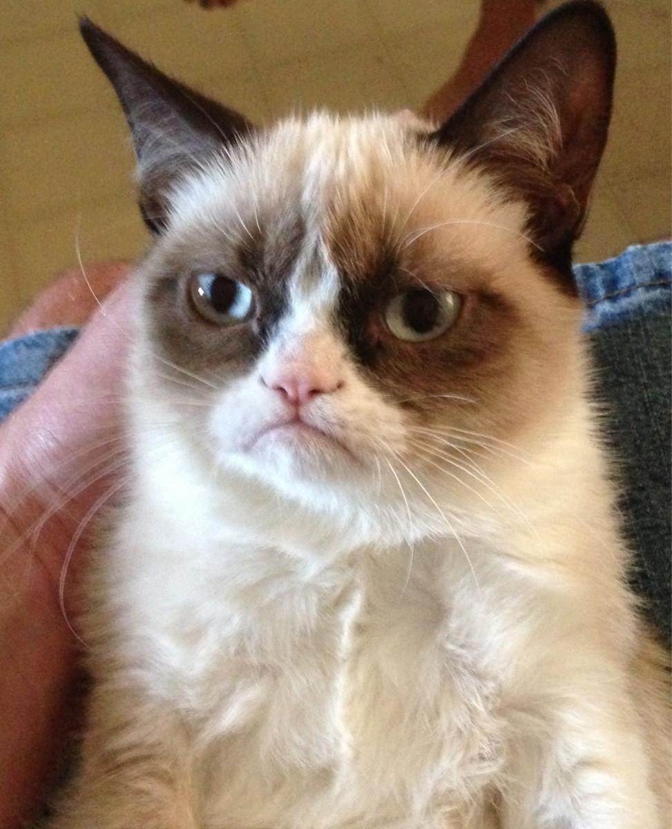 La prima foto postata su Reddit del grumpy cat