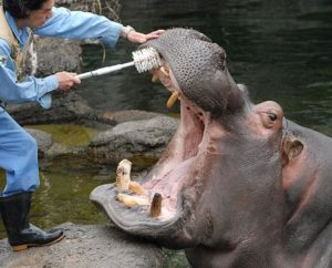 ippopotamo circo animalisti