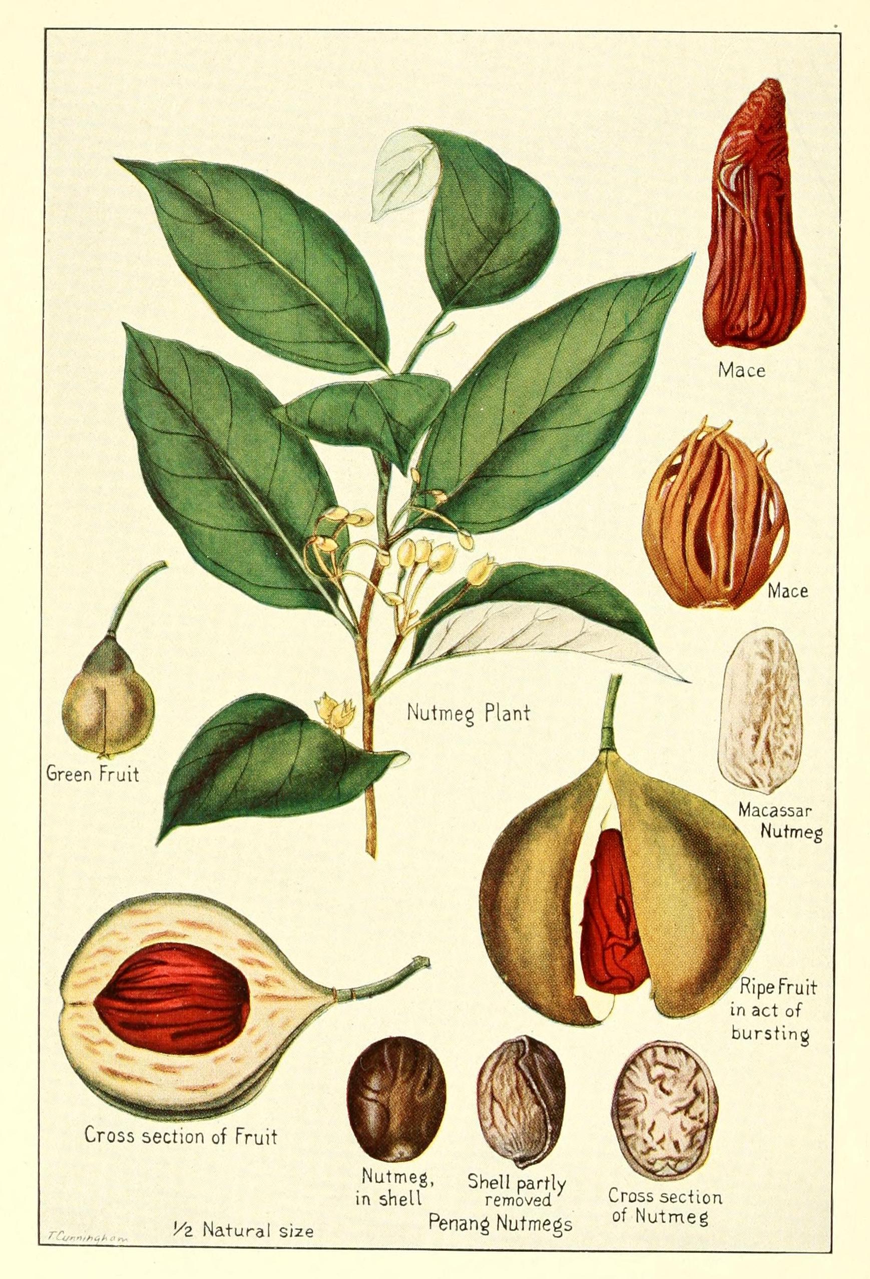 La pianta della noce moscata e il frutto da cui viene estratta la spezia. (Fonte: Wikipedia.org)