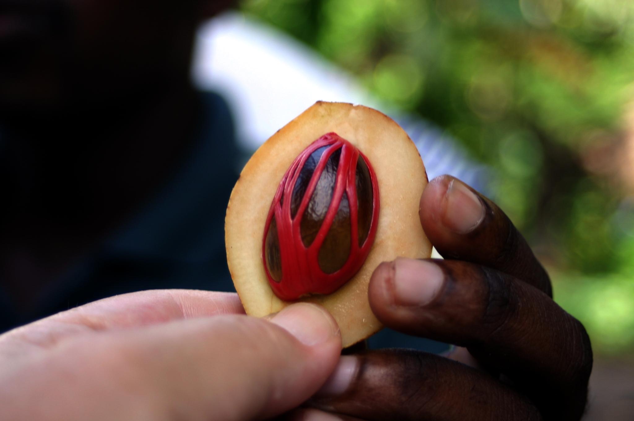 Il frutto della noce moscata con all'interno la spezia ancora parzialmente avvolta  dal guscio rosso (fonte: Wikipedia,org)