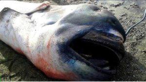 megamouth shark copertina