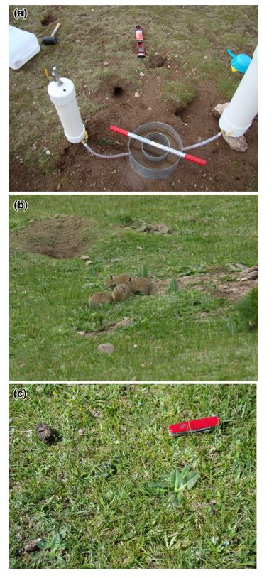 Le tane dei pika sull'Altopiano del Tibet (fonte: The pika and the watershed: The impact of small mammal poisoning on the ecohydrology of the Qinghai-Tibetan Plateau)