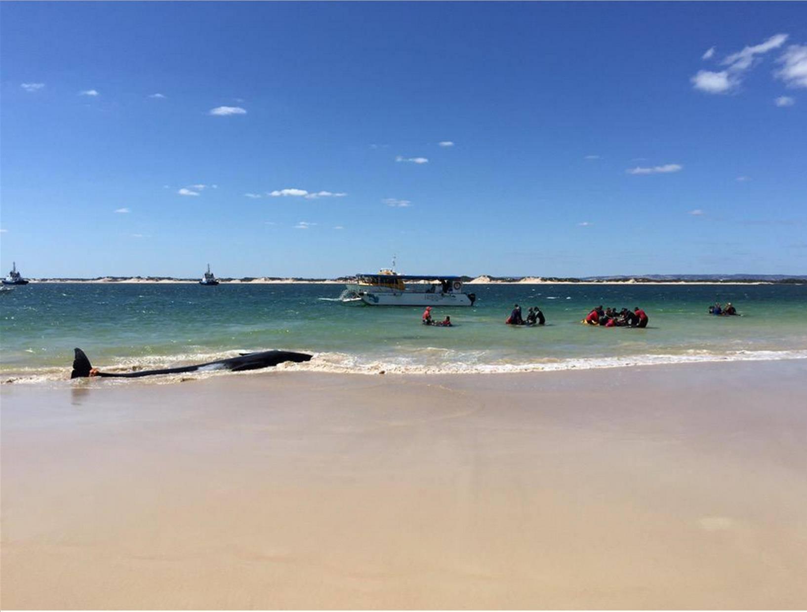 balene spiaggiate australia 1