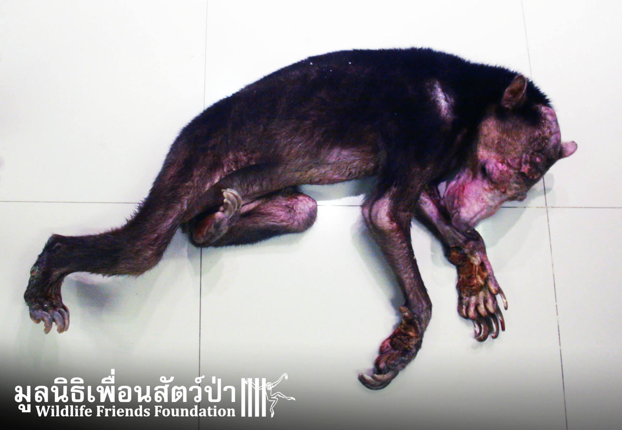 Kwan, l'orso malese di tre anni trovato dai volontari del Wildlife Friends of Thailand (fonte: Facebook.com)