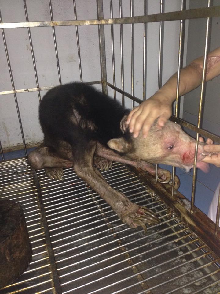 Le condizioni in cui era costretto a vivere l'esemplare di orso malese ritrovato in Tailandia (fonte: Facebook.com)
