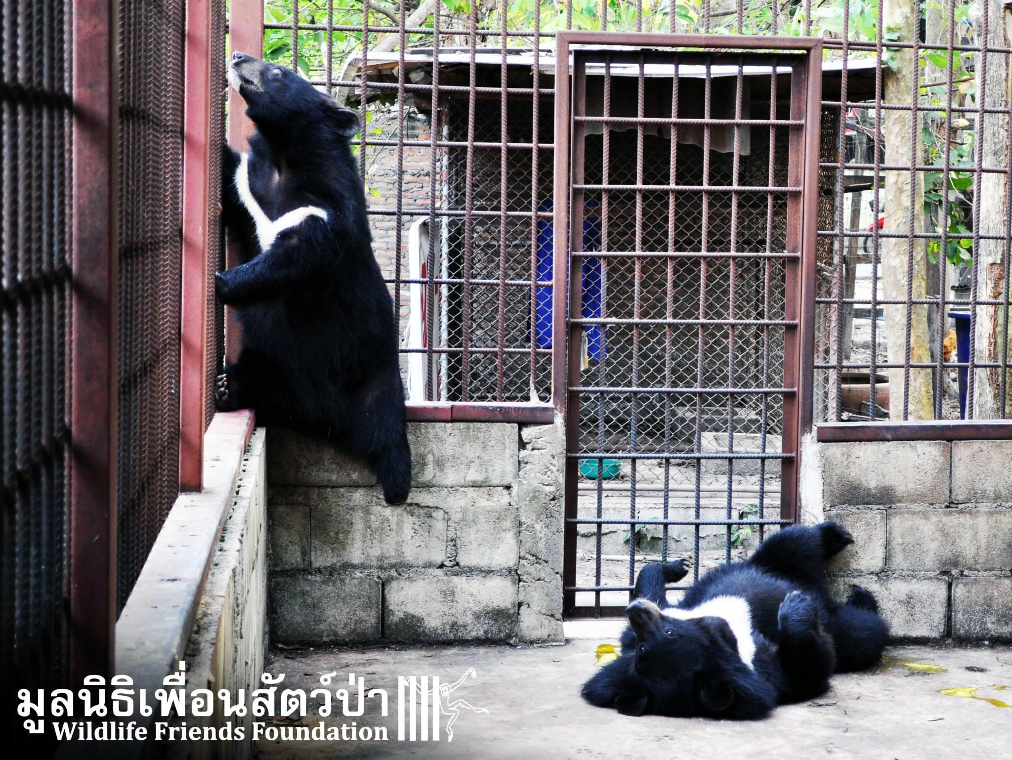 Due dei quattro esemplari di orso tibetano che saranno liberati grazie all'interessamento mediatico sul caso di Kwan (fonte: Facebook.com)