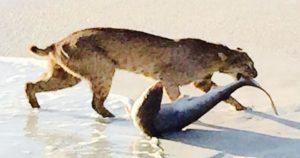 squalo lince florida spiaggia