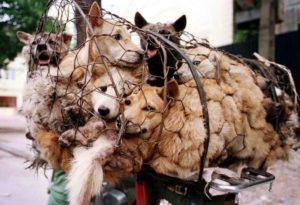 yulin festival carne di cane