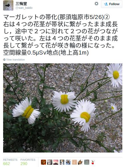 margherite fukushima 1
