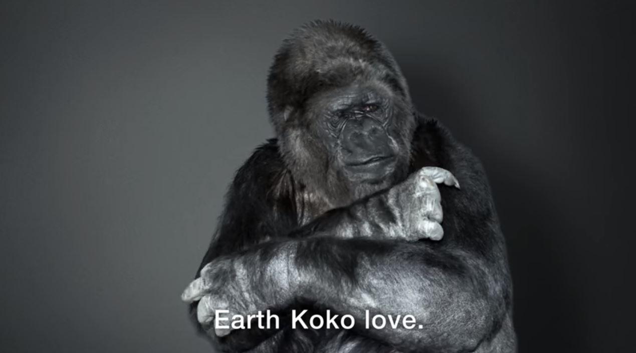 koko gorilla riscaldamento globale video - 1