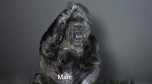 koko gorilla riscaldamento globale video - 2