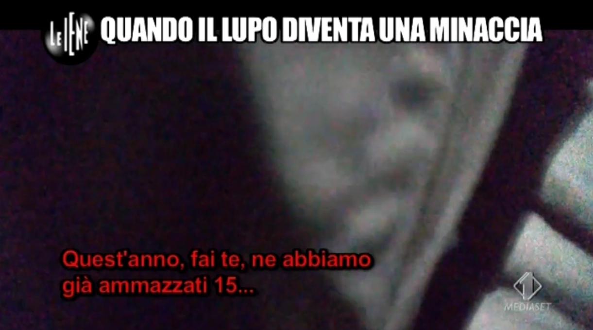 iene lupi bracconaggio - 1