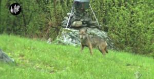 iene lupi bracconaggio - 2