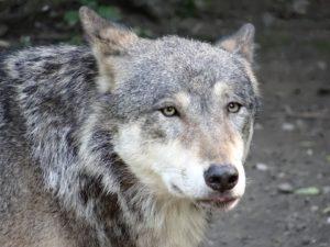 il piano per abbattere i lupi 1