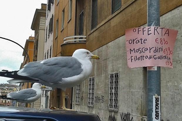 gabbiani a roma