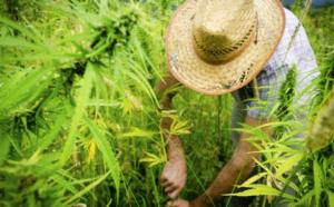 marijuana legale traffico droga - 3