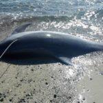 delfino ucciso capo carbonara 1