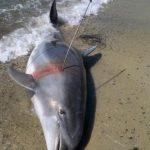 delfino ucciso capo carbonara 3