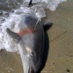 delfino ucciso capo carbonara 4