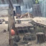zoo suicida leoni nudo santiago cile - 2