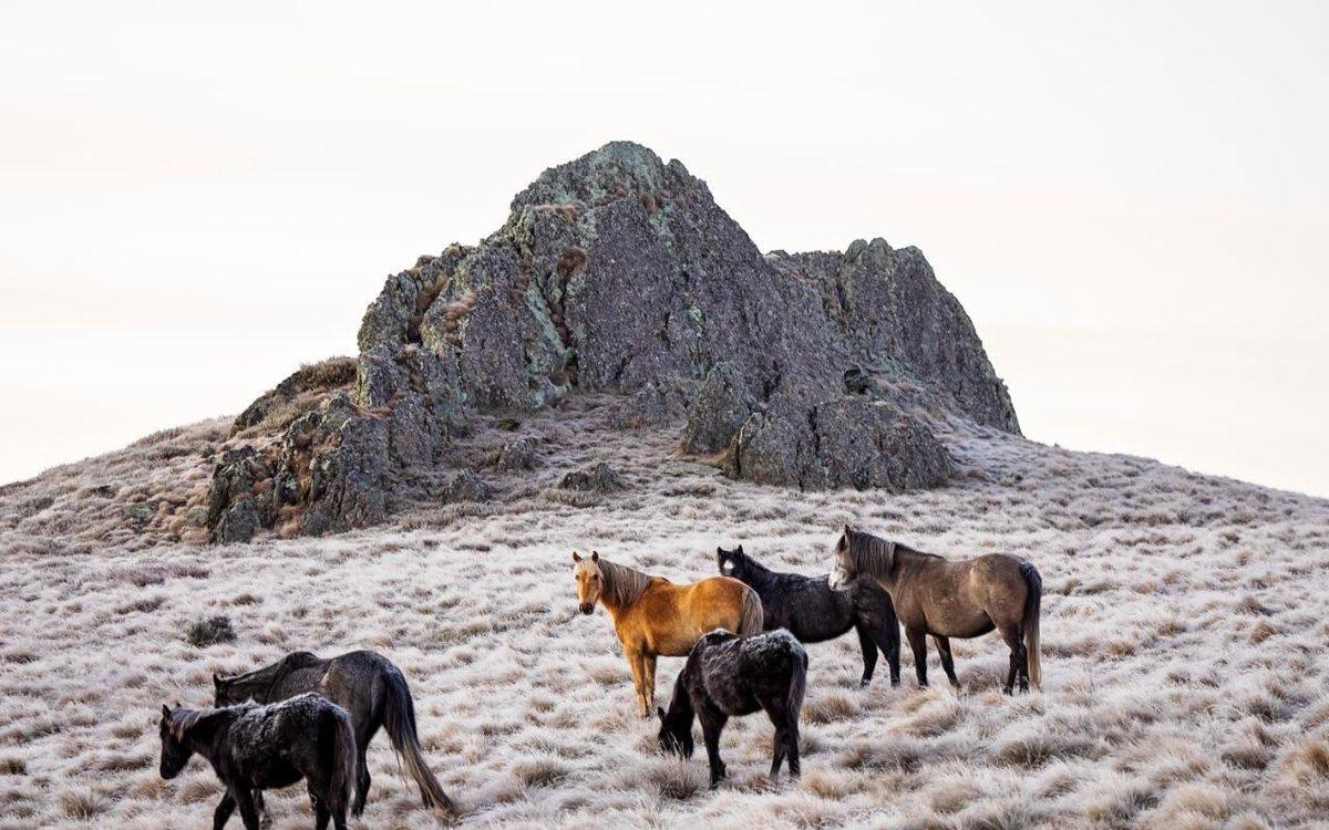 cavalli selvaggi australia
