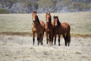 snowy mountains brumbies