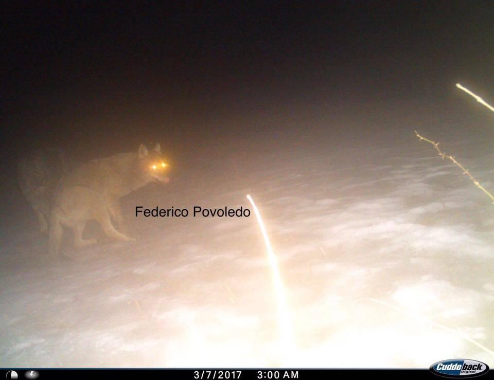 lupi altopiano di asiago - 5