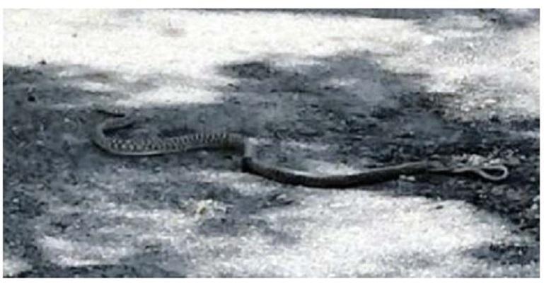 serpente in auto