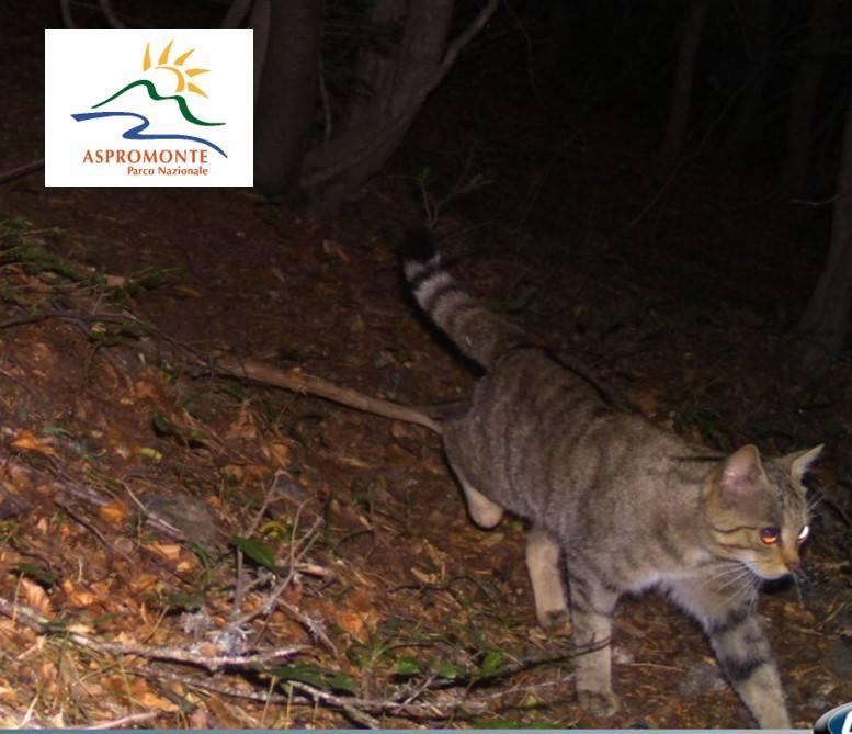 parco nazionale aspromonte gatto selvatico