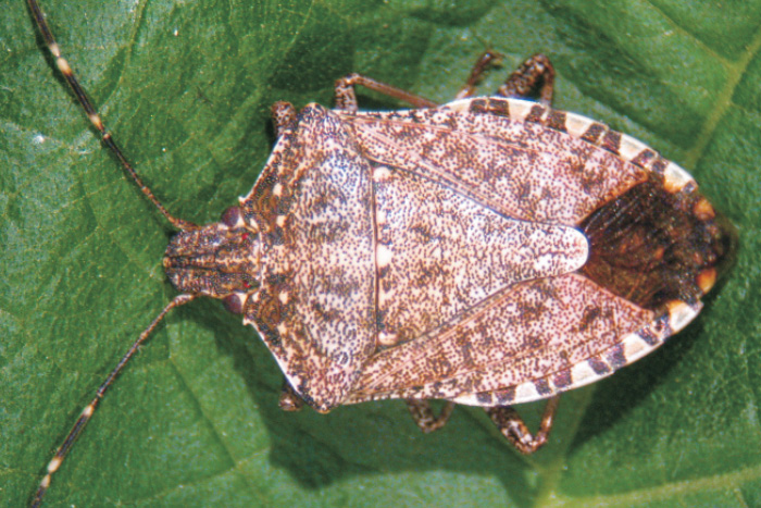 Le cimici asiatiche arrivano a roma nextquotidiano for Cimice insetto