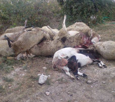ploaghe pastore 135 pecore uccise - 2