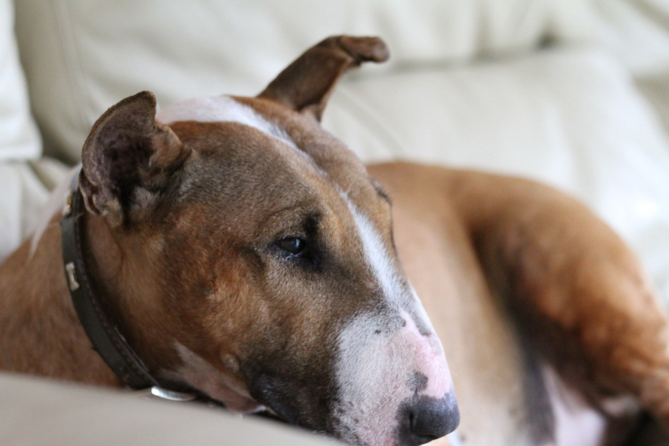 addestratore cane bull terrier