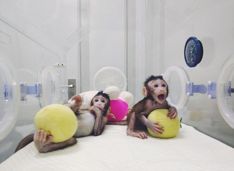 scimmie clonate zhong zhong hua hua - 2