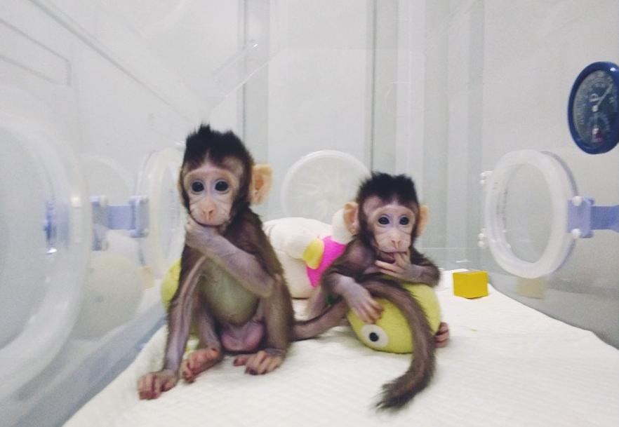 scimmie clonate zhong zhong hua hua - 4