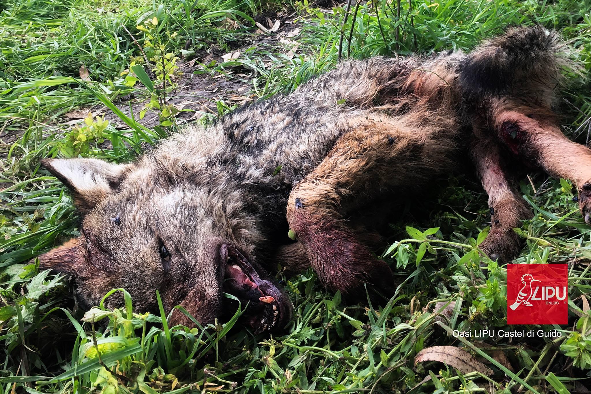 lupo disabile trovato morto 2